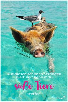 I Love Synchronized Swimming Pig and Bird Journal: Blank Lined Notebook Diary 6 x 9 150 Pages Ecuador, Music Sheet Paper, Vietnam, Safari, Swimming Pigs, Synchronized Swimming, Lined Notebook, Paper Book, Am Meer
