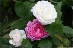 'Winchester Cathedral ' Rose Photo