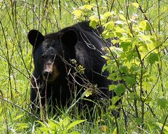 A female black bear grazes in the spring grass in Cades Cove. The mama has cubs in a nearby tree and she keeps a watch on them as she eats her meal.