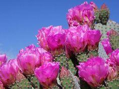 DAZIM nos cuenta detalles de interés sobre uno de los cactus más demandados. ¿Sabías que además es muy beneficioso?