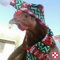 Happy holidays to you and your flock!  This chicken is all decked out for flockmas. Thanks to a Purina Poultry Facebook fan for sharing.