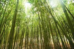 Silly little poem: Green like the grass. Tall like the sky.  These skinny bamboo trees caught my eye.