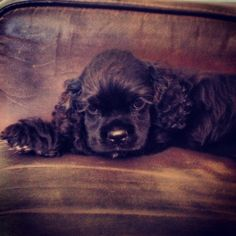 This is a beautiful chocloate Cocker Spaniel. My Artemus was a chocolate, but a little more milk chocolate in color.