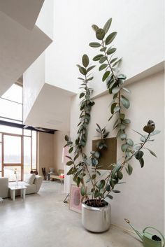 in a giant silver pot in a white living room this huge plant is growing healthily toward the sun more beautiful indoor plants and house plants here