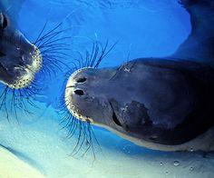 monk seals hawaii
