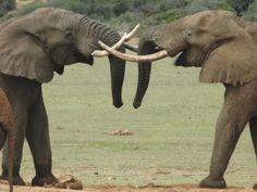 Gorah Elephant Tusks, Eastern Cape Game Reserves