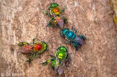group of colorful orchid bees (Euglossa hansoni, E. sapphirina, and E. tridentata) collecting fungus filaments from tree bark. Cool Insects, Bugs And Insects, Small World, Insect Photos, Cool Bugs, Bees And Wasps, Beautiful Bugs, Stunningly Beautiful, Amazing Nature