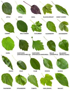 Collage from green leaves of trees and shrubs with names isolated on white background. Free art print of Collage from green leaves of trees with names.