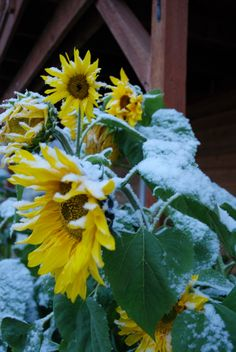The first snowfall at our home in the hills above Fairbanks brought an end to the growing season for our wonderful sunflowers. (Oct. 8, 2012)  —Tom Schneider, Fairbanks