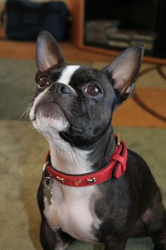 Our Boston Terrier Marley