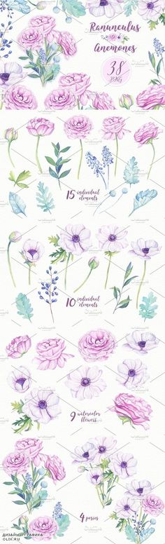 Ranunculus & Anemones Flowers - 1249117
