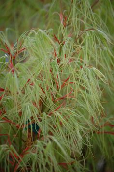Acer palmatum Koto no Ito. (Via FB)