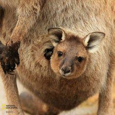Baby Kangaroo National Geographic Books's photo.
