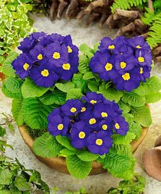 Primulas are beautiful flowers which bloom in spring Romantic Flowers, Simple Flowers, Exotic Flowers, Beautiful Flowers, Stone Flower Beds, Flower Bed Edging, Flower Pots, Spring Plants, Blooming Plants