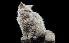 Download wallpapers Selkirk Rex, white fluffy kitten, cats, pets, 4k