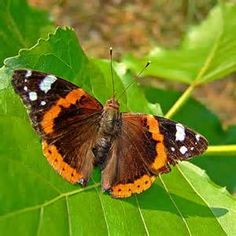 red admiral butterfly - Bing images