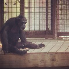 Day 46 - Though our heat wave seems to be over, Annie #chimpanzee was sprawled out this morning in the greenhouse. She looked pretty #zen. #100happydays #chimpsanctuarynw