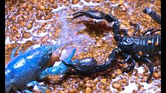 Black Scorpion vs Lobster/crayfish shows what happen when lobster is attacked by Black Scorpion. See how lobster manage attacks of Back Scorpion and who is b. Small Lizards, Sea Floor, Scorpion, Pets, Black, Scorpio, Black People, Animals And Pets