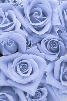 Periwinkle roses