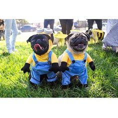 Follow us on Instagram @Puggify for more pugs! Our Pinterest is http://ift.tt/2cQqMpn #pugs #pug #cutepugs #puglover