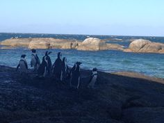 South African penguins! Can't wait!