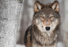 The Beauty of Wildlife Wolf by Holly Kuchera