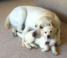 Mind Blowing Facts About Labrador Retrievers And Ideas. Amazing Facts About Labrador Retrievers And Ideas. Labrador Retriever Dog, Labrador Puppies, Cute Dogs And Puppies, Doggies, Cutest Dogs, Cute Baby Animals, Beautiful Dogs, Dog Pictures, I Love Dogs