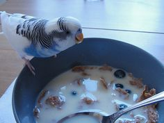 No, no, not milk for budgies! I'm sure they'd like to be allowed cereal for breakfast  though..... :-)