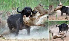 Buffalo gores lion and tosses it into the air after pride attacks herd