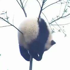 ~ Panda bears prove God has a great sense of humor :) Cute Funny Animals, Cute Baby Animals, Animals And Pets, Cute Dogs, Cute Babies, Nature Animals, Panda Love, Cute Panda, Image Panda