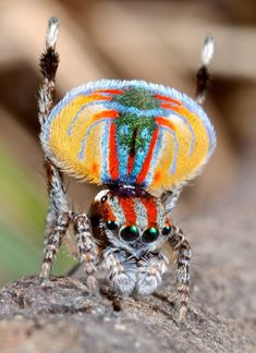 Australian peacock spider...oh my god I'm speechless WHAT A BEAUTIFUL SPIDER I'VE EVER SEEN...you cannot say this spider is ugly...This is beauty of spider and all insects, they always spire me with beautiful colors, texture, and shape. wow I love allah creation