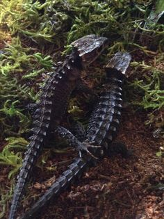 Crocodile skinks