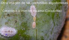 La página más grande de Cactus y Crasas en el mundo: CUIDADOS DE LOS CACTUS Cómo curar los cactus e identificar plagas fácilmente !!!!! Clickeá ! Cactus Planta, Cactus Y Suculentas, Growing Plants, Dandelion, Succulents, Flowers, Fauna, Owls, Grande