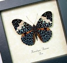 Blue Hamadryas Real Paisely Framed Butterfly by REALBUTTERFLYGIFTS