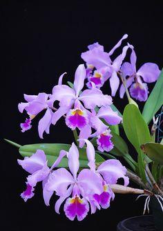Cattleya warscewiczii (alba x alba) plant 2