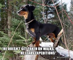 dashound meme | Dachshund Meme - He Doesn't Get Taken on Walks, He Leads Expeditions
