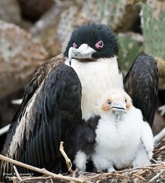 Frigate Bird (Female) With Chick on Darwin Bay, Genovesa, Galapagos Islands