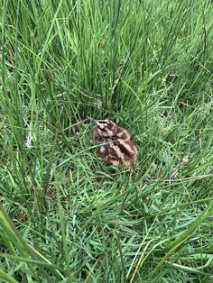 Woodcock chick recently hatched in one of our meadows here at Williamston Barns.  #Williamstonbarns #NorthPennines #NorthPennAONB #northumberland #visitnorthumberland #familyholiday #slaggyford Luxury Holiday Cottages, Holiday Accommodation, Luxury Holidays, Barns, Wilderness, Natural Beauty, Nature, Plants, Wildlife Nature