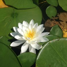 Water Lillie on Lone Lake, MN!