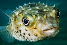 Pufferfish   #dangerous #animals #deadly #creatures #killers