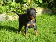 MANCHESTER TERRIER PUPPIES | Llanymynech, Powys | Pets4Homes