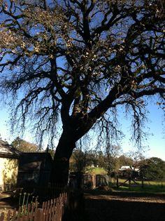 My friend's oak tree!