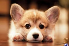 corgi puppy adorableness