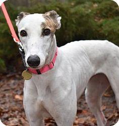 Cherry Hill, NJ - Greyhound. Meet Bob's Eureka, a dog for adoption. http://www.adoptapet.com/pet/17441703-cherry-hill-new-jersey-greyhound