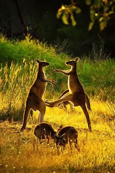Kangaroo Fun. Content in a Cottage. #kangaroo Visit our page here: http
