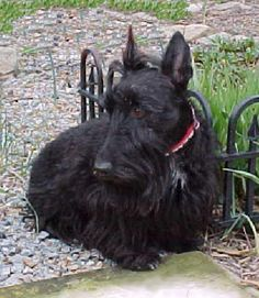 Heather (RB) Funny Dogs, Cute Dogs, Scottie Dogs, Scottish Terriers, Dogs Of The World, Terrier Dogs, Sweet Sweet, Westies, Mothers Love