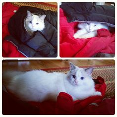 Pierre finds the winter jackets comfortable, to say the least. #crazycatguy #ragdoll #ragdollcat #catsofpinterest #cats #pets #petsofpinterest #blueeyes