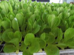 Little Gem Lettuce plant plugs from Little Gem Lettuce, Plugs, Corks