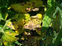 Black Spots On Tomato Plants Yellow Leaves - Check out the free plant identification mobile app at GardenAnswers.com
