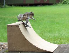 Wild squirrel skateboarding, and doing tricks on his own quarterpipe skateboard ramp.